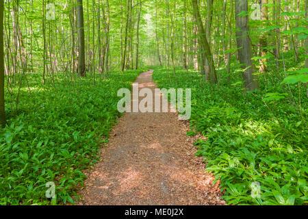 Lumière pommelé sur un sentier dans une forêt de hêtres au printemps en Bad Langensalza au Parc National du Hainich en Thuringe, Allemagne Photo Stock