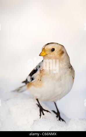 Bruant des neiges Plectrophenax nivalis Profile d'un adulte perché sur la neige des montagnes Cairngorm, Photo Stock