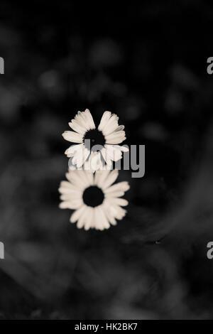 Vue de dessus deux fleurs de jardin. Détail nature noir et blanc. Photo Stock
