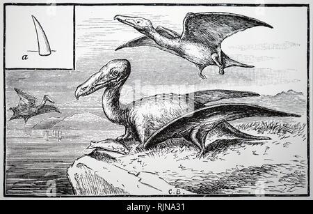 Une gravure illustrant la reconstruction de l'Rhamphorphychus, montrant un individu à A. En date du 19e siècle Photo Stock