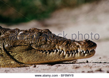 Crocodile du Nil, Crocodylus niloticus, Okavango Delta, Botswana Photo Stock