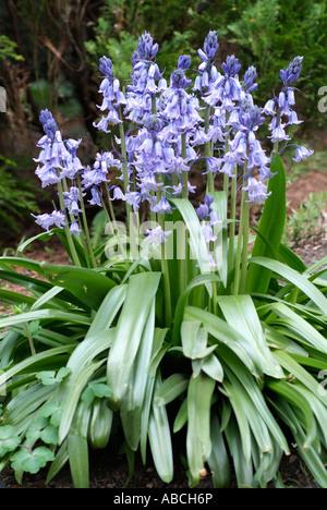 Blue Bell ombre bois sauvage printemps fleurs Endymion ampoule hyacinthoides non scripta couleur Photo Stock
