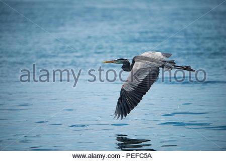 Un héron volant au-dessus de l'océan. Photo Stock