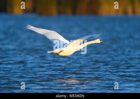 Profil d'un mute swan (Cygnus olor) en vol au dessus des eaux bleues du Lac de Neusiedl en Burgenland, Autriche Photo Stock
