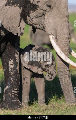L'éléphant africain (Loxodonta africana) jeune veau recouvert de boue avec mère. Le Parc national Amboseli au Kenya. Photo Stock