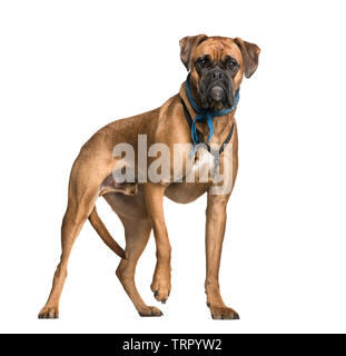 Boxer, 2 ans, in front of white background Photo Stock