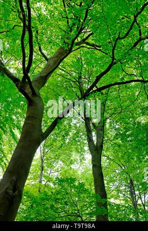 La croissance des feuilles au printemps vert sur les hêtres de Woodland, Norfolk, Angleterre Photo Stock