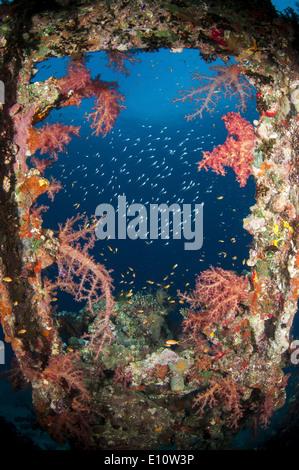 Fenêtre d'une vieille épave couverte par les coraux mous, Egypte Photo Stock