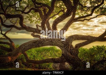 Ramification Wildley arbre. Maui, Hawaii. Photo Stock