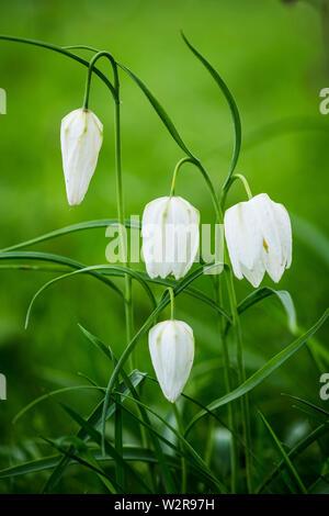 Close up de délicates fleurs blanches d'une tête du serpent Fritillary sur un pré. Photo Stock