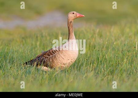 Portrait de profil d'une oie cendrée (Anser anser) debout dans un champ d'herbe au bord du lac de Neusiedl, dans le Burgenland, Autriche Photo Stock