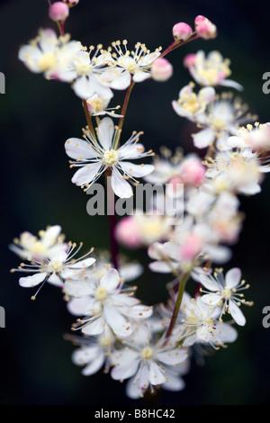 Nom commun: Meadow sweet. Nom latin: Filipendula ulmaria Photo Stock