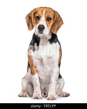 Chien Beagle assis contre fond blanc Photo Stock