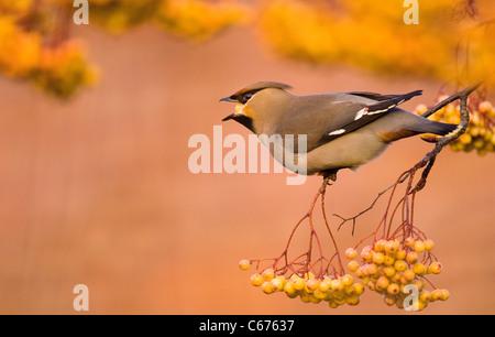 Jaseur boréal Bombycilla garrulus un adulte perché dans une variété jaune, distincte de Rowan Photo Stock