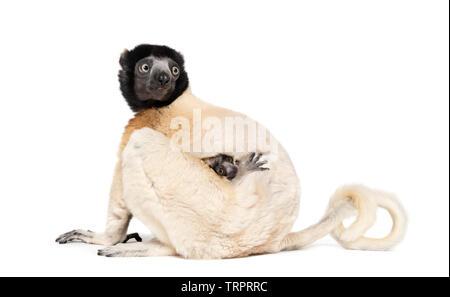 Sifaka couronné la mère et son bébé de deux mois assis contre fond blanc Photo Stock
