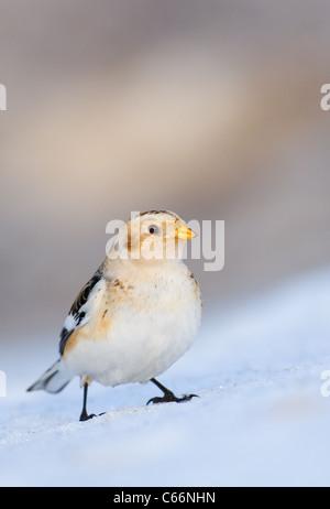 Bruant des neiges Plectrophenax nivalis Portrait d'un adulte perché sur un banc de neige du Parc National Photo Stock