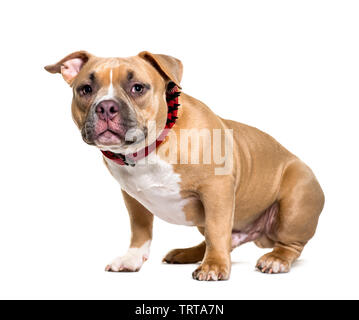 American Bully in front of white background Photo Stock