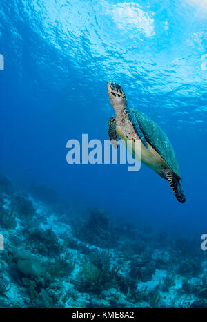 La tortue imbriquée, Glover's atoll reef Photo Stock