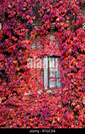 Automne rouge plante vigne sur la construction de mur, Cambridge, Angleterre Photo Stock