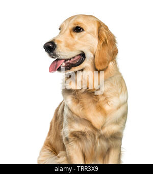 Golden Retriever sitting in front of white background Photo Stock