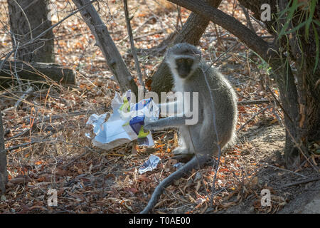 Les charognards de singe, Dabchick Wild Life Reserve, District de Limpopo, Afrique du Sud Photo Stock