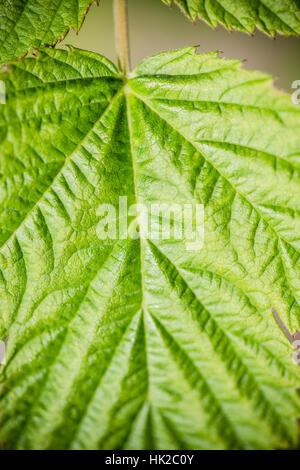 Feuille verte. Détail de la nature avec texture organique. Fond naturel. Photo Stock