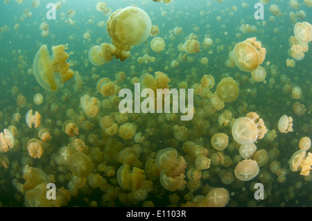 Un groupe de méduses, Jellyfish lake, Palau (Mastigias) Photo Stock