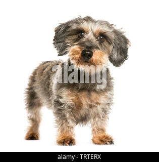 Teckel, chien saucisse in front of white background Photo Stock