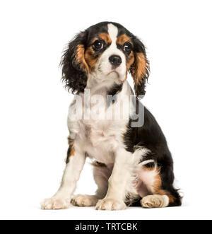 Jeune Cavalier King Charles chien assis à l'arrière-plan blanc Photo Stock