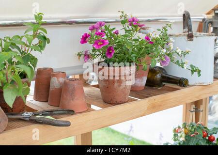 Petunia fleurs dans un pot sur une étagère dans une serre à un flower show. UK Photo Stock