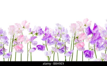 Petits pois rose et mauve. Nom latin: Lathyrus odoratus Photo Stock