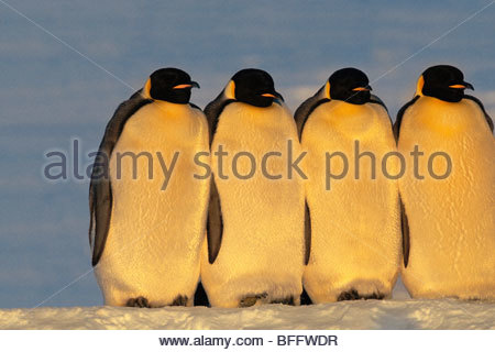 Manchots empereurs, Aptenodytes forsteri, mer de Weddell, l'Antarctique Photo Stock