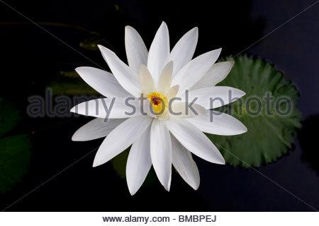 Fleurs de Lys D'EAU DANS UN étang Photo Stock