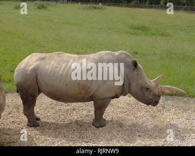 Rhinocéros blanc ou square-lipped rhinoceros (Ceratotherium simum) est la plus grande des espèces existantes de rhinocéros. Photo Stock