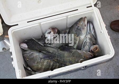 À la recherche vers le bas dans une glacière de poissons frais Photo Stock