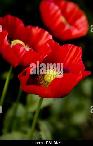 Pavot sauvage rouge Nom latin: Papaver rhoeas Photo Stock