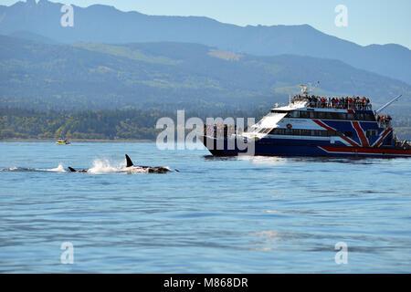 L'observation des baleines au large de la côte de l'île de Vancouver, Colombie-Britannique, Canada.Une Photo Stock