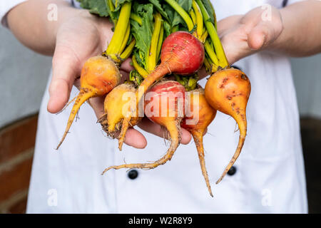 Close up of chef holding a bunch of colorful les betteraves. Photo Stock
