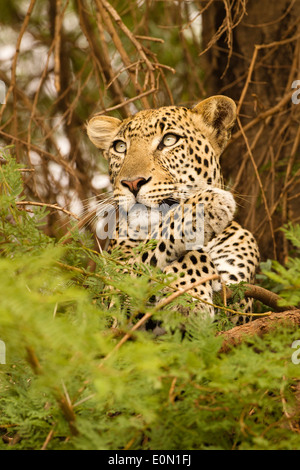 Leopard africaine dans l'arbre avec kill, Samburu Game Reserve, Kenya, Africa (Panthera pardus) Photo Stock