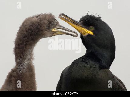 SHAG Phalacrocorax aristotelis un adulte et c'est grandir chick contre un ciel couvert d'un blanc laiteux Photo Stock
