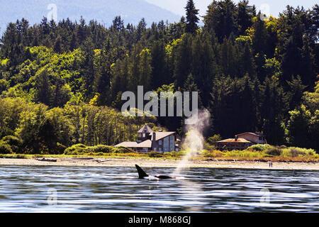 Une baleine nage près de la côte de l'Olympic National Park, Seattle Photo Stock