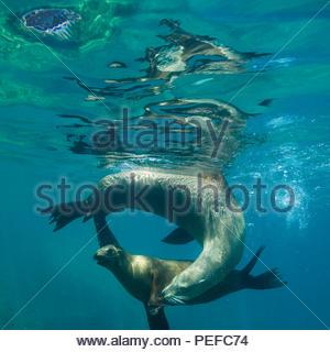 Les lions de mer jouant dans l'eau au large de Isla couple sitting in Beach chairs. Photo Stock
