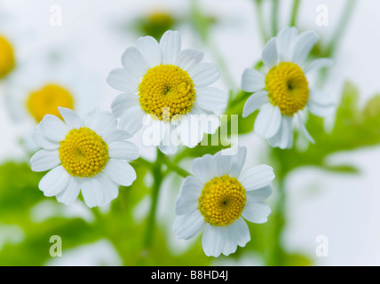 Gros plan de la grande camomille fleurs Photo Stock