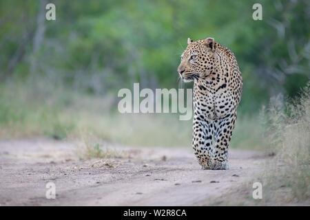 Un mâle léopard, Panthera pardus, marche dans un chemin de sable, les pattes avant posées, à la recherche du bâti, fond vert. Photo Stock