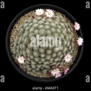 Mammillaria cactus cacti plumeuses blanc fleur flore espèces dos serre pot en terre cuite cultivée soulevées Photo Stock