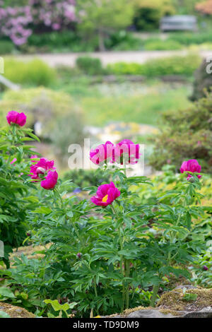 Paeonia. Pivoine rose à fleurs RHS Wisley Gardens, Surrey, UK Photo Stock