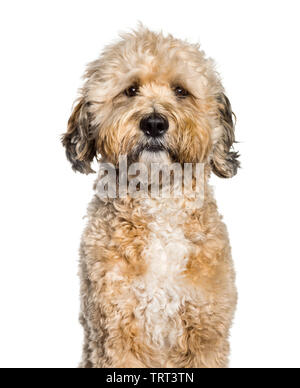 Tibedoodle looking at camera against white background Photo Stock