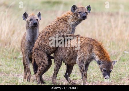 L'Hyène tachetée (Crocuta crocuta) l'accouplement.Masai Mara National Reserve. Kenya Photo Stock