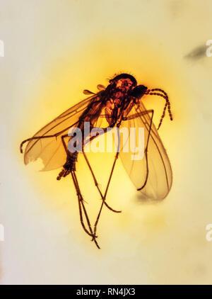 Dans l'ambre des terreaux, Colombiens, du Pliocène, MYO 10 Photo Stock