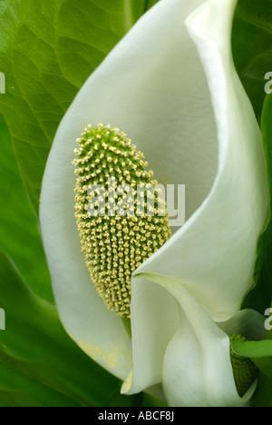 Botanique fleur d'arum fermer macro close-up closeup fleur pétale étamine anthère bractée Photo Stock